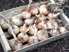 150 graines d'Oignon Jaune Doux de Lezignan - SEB-0051