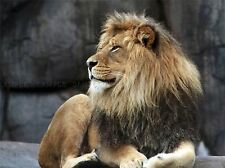 NATURE ANIMAL LION CAT MANE KING COOL POSTER ART PRINT HOME PICTURE BB1294A