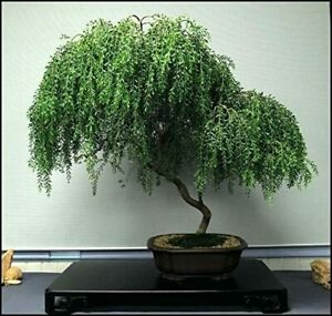 Weeping Willow Bonsai Live Tree Ready to Plant Dwarf Bonsai Very Easy to Grow