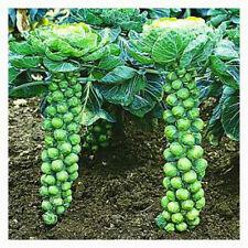 Long Island Brussel Sprouts!  30 SEEDS! VERY PRODUCTIVE COMB. S/H! SEE MY STORE!