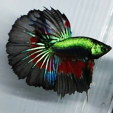 Live Betta Fish Super Green Black Red Butterfly HM Male from Indonesia Breeder