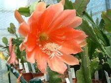 "Epiphyllum Blattkakteen Hybride "" Li-Hun-Shan """