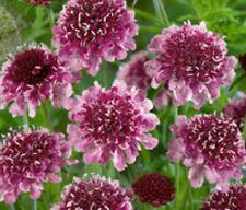 F0749 Scabiosa Beaujolais Bonnets x25 seeds
