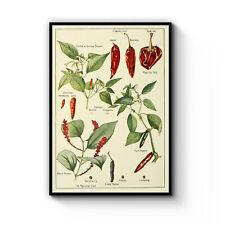 Chilli Pepper Botanical Drawing Vintage Plant Art Poster Print - Framed