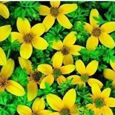 Bidens - Golden Eye - 50 Seeds