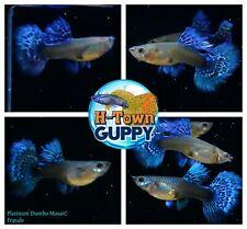 FEMALE ONLY x2 -  Live Aquarium Guppy Fish High Quality - Dumbo Platinum Mosaic
