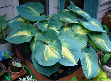 Hosta Plant - DREAM WEAVER - Great Container Plant - Shade Perennial - 2 Shoots