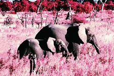 ELEPHANTS IN PINK FIELD - NATURE POSTER 24x36 - SCENIC WILD 4892