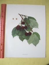 Vintage,Print,CHERRIES OF NEW YORK,Double Natte