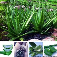 100 Seed Aloe Vera Seeds Edible Succulent Plant Rare Medicinal Vegetables Decor