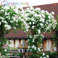 20++ WHITE  CLIMBING  ROSE Seeds   USA SELLER  SHIPS FREE