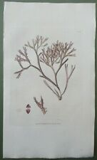 Seaweed Mammillary Fucus Antique Print Sowerby 1st Edition Hand Colour 1802