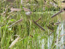 250+ Samen Bouteloua gracilis - Moskitogras , Gramagras