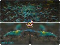 10+1 Blue Jelly - High Quality Live Aquatic - Aquarium Freshwater Shrimp