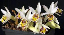 Near Hardy Orchid Pleione maculata FS-1 x 2