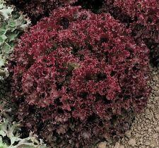 Lollo Rossa Darky leaf lettuce 500 seeds * NON GMO * ez grow * CombSH E31