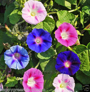 MORNING GLORY MIX - 160 SEEDS - Ipomoea tricolor - ANNUAL CLIMBING FLOWER