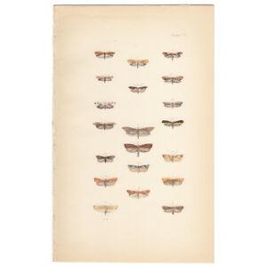 Morris Moths and Butterflies antique 1872 hand-colored lithograph print Pl 103