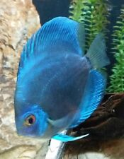"x2 COBALT BLUE DISCUS PACKAGE 2"" - 3"" EACH - TANK RAISED - FREE SHIPPING"