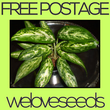 LOCAL AUSSIE STOCK - Chinese Evergreen, Aglaonema Taro Plant Seeds ~5x