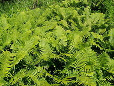 Ostrich Fern 18 Bare Root Plants Free Shipping