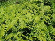Ostrich Fern 25 Plants in 3-1/2 inch Pots