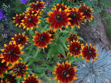 200 Red Sport Rudbeckia Red & Yellow Flower Seeds + Gift & Comb S/H