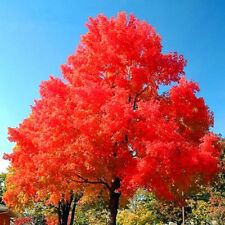 30pcs/Bag Exotic Japanese Red Maple Tree Seeds Bonsai Tree Seeds Best Gift~