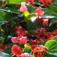 ANGELWING BEGONIA DRAGON WING RED PLANT SEEDS PELLETED -100 SEEDS - DECORATIVE