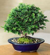15 Hinoki Cypress (Chamaecyparis Obtusa) Seeds, Rare Fresh Cypress Bonsai Seeds