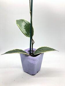 """**RARE** Hoya macrophylla variegated In 3.5"""" Pot, Well Established"""