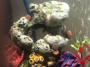 10 x Ramshorn Aquarium Snails. (Various sizes)