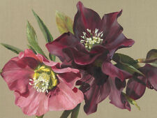semence libre p/&p Lenton Rose Heavenly Ellébore Rose Tacheté