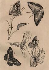 BUTTERFLIES. Purple Emperor. Apatura Iris. Camille. Southern White Admiral 1834