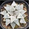 Haworthia Sukkulenten Succulent plants potted Plants Home Garden Bonsai Garden