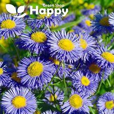 Showy Fleabane Daisy - 200 Seeds - Blue Erigeron macaranthus - Perennial Flower
