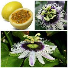 10 semi di Passiflora edulis f. flavicarpa, frutto della passione, maracuja