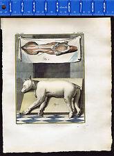 BEAR Skinned & Mounted -Hand Colored 1767 Buffon Natural History