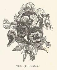 B3722 Viburno - Viburnum tinus - 1931 xilografia - Vintage engraving - Gravure