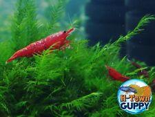 10+1 Bloody Mary - Freshwater Neocaridina Aquarium Shrimp. Live Guarantee
