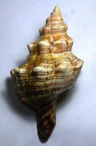 edspal shells- Sea shell Pleuroploca trapezium  208mm F+++,big size ,Philippines
