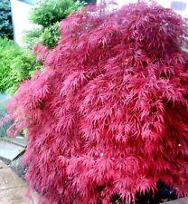 Acer palmatum Atropurpureum PINK ROSA Fächer Ahorn 036987