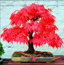 Japanese Toronto Maple Leafs Tree 50 PCS Seeds Plants Perennial Ornamental 2021