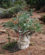 3x Cyphostemma juttae Caudexpflanze Samen Pflanze Garten Frisch Neu B1087