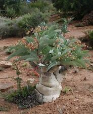 3x Cyphostemma juttae Caudexpflanze Samen Pflanze Garten Frisch Neuheit #1087