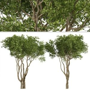 Manzanillo Olive Tree Live Plant - Olea europaea. *FAST/FREE Shipping Worldwide*