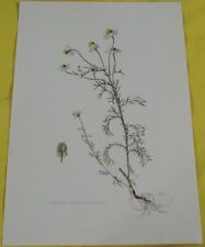 Old Map School Poster Botanical Herbarium Chamomile