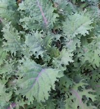 KALE SEEDS 300+ RED RUSSIAN healthy VEGETABLE greens SURVIVAL FREE SHIPPING