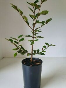 Bonsai Tree - Chinese Elm
