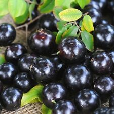 Jaboticaba Tree - Myrciaria cauliflora - 1 Feet Tall - Ship in 1 Gal Pot